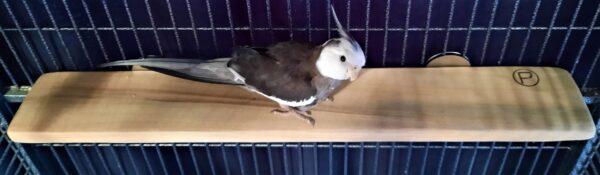 Cockatiel on Flat Perch Shelf 4 x 23