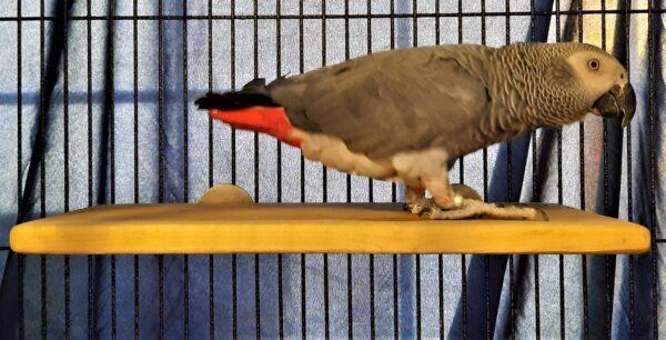 Parrot on 8 x 16 Flat Perch Shelf