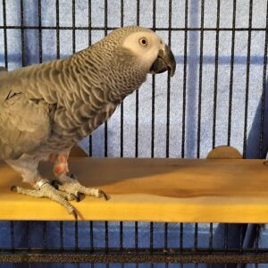 African Grey on 8 x 16 Flat Perch Shelf