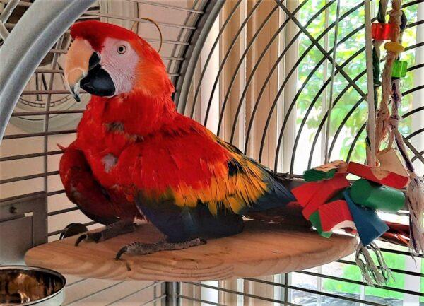 Tia a Scarlett Macaw on her favorite Corner Perch.
