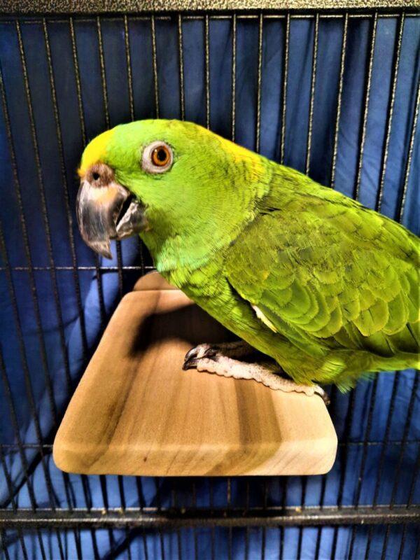 Amazon Parrot on Flat Perch