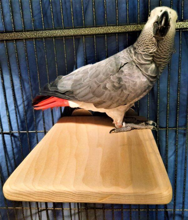 African Grey on Flat perch 8 x 10